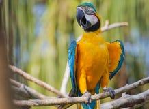 Orange papegoja Arkivbilder