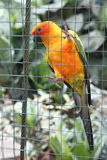 Orange papegoja hållen inre bur Arkivfoto