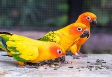Orange papegoja som tre äter mat på en vagga Fotografering för Bildbyråer