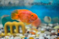 Orange papegojafisk Arkivbild
