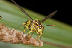 An orange paper wasp on its nest Royalty Free Stock Photography