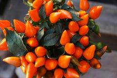 Orange Paprikas peper lizenzfreies stockfoto