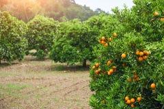 Orange - parc d'orange d'arbre orange Image stock