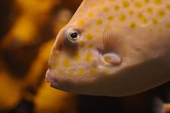 Orange parrot fish head snapshot Stock Image