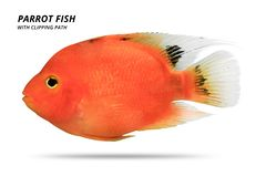 Free Orange Parrot Fish Isolated On White Background. Parrotfish With Cut Out. Clipping Path Royalty Free Stock Images - 146069689