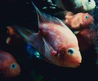 Orange Parrot fish Royalty Free Stock Photography