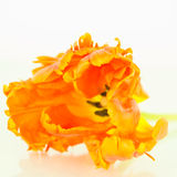 Orange Parrot tulip Royalty Free Stock Photos