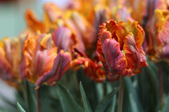 Orange Parrot Tulip Stock Photo