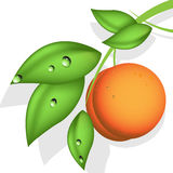 Orange peach Stock Image