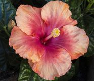 Orange and Peach Colored Hibiscus Flower Royalty Free Stock Images