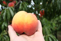 Orange peach on hand. Photo made in summer in the peach orchard. Peach Variety Inka Stock Image