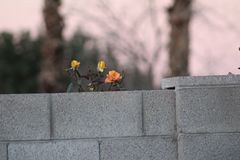 Flower behind cement wall Royalty Free Stock Photography