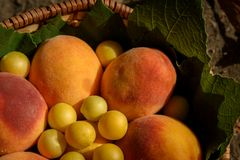 Orange peaches and cherry plums lie in a basket under the rays of a warm sunset. Orange peaches and cherry plums lie in basket under the rays of a warm sunset stock images