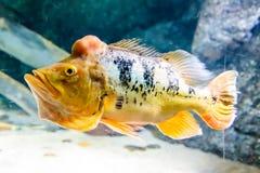 Orange peacock bass fish Stock Photo