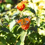 Peacock butterfly on orange Lantana Royalty Free Stock Photos
