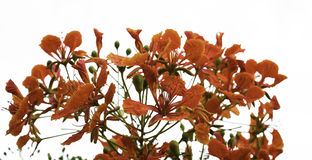 Orange peacock flowers on poinciana tree. Isolated on white royalty free stock photos