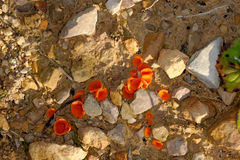 Orange Peel Fungus Royalty Free Stock Photos