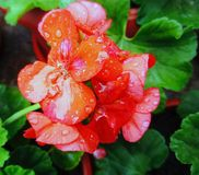 Orange Pelargonium zonale royalty free stock image