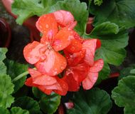 Orange Pelargonium zonale stock photo