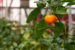 orange peppar för klocka Arkivfoton
