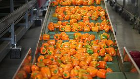Orange peppers on a conveyor belt stock video