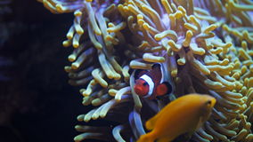Orange percula clownfish. An orange clownfish and anemone stock footage
