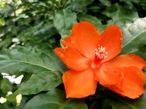 Orange Pereskia bleo Kunth blossom known as Rose Cactaceae or Wax Rose. Orange Pereskia bleo Kunth blossom known as Rose Cactaceae or Wax Rose Royalty Free Stock Photos
