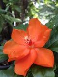 Orange Pereskia bleo Kunth blossom known as Rose Cactaceae or Wax Rose. Orange Pereskia bleo Kunth blossom known as Rose Cactaceae or Wax Rose Stock Photos