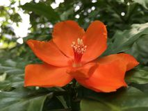 Orange Pereskia bleo Kunth blossom known as Rose Cactaceae or Wax Rose. Stock Photo