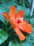 Orange Pereskia bleo Kunth blossom known as Rose Cactaceae or Wax Rose. Royalty Free Stock Images