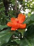 Orange Pereskia bleo Kunth blossom known as Rose Cactaceae or Wax Rose. Orange Pereskia bleo Kunth blossom known as Rose Cactaceae or Wax Rose Stock Image