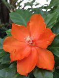 Orange Pereskia bleo Kunth blossom known as Rose Cactaceae or Wax Rose. Orange Pereskia bleo Kunth blossom known as Rose Cactaceae or Wax Rose Stock Images