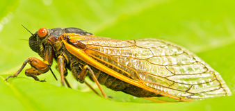 Orange periodic cicada Royalty Free Stock Photos