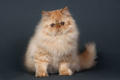 Orange persian cat Stock Photo