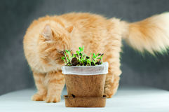 Orange Persian Cat Checking on a Sunflower Sprouts Royalty Free Stock Image
