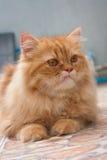 Orange persische Katzen Stockfotografie