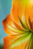 Orange petals. Beautiful bright orange petals close-up shot Royalty Free Stock Image