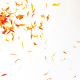 Orange petals background Royalty Free Stock Image
