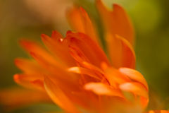 Orange petals in a breeze Royalty Free Stock Photography