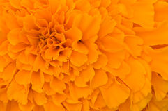 Orange petals texture Stock Image