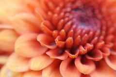 orange petalspollen för tät blomma upp sammetslent Arkivbild