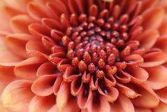 orange petalspollen för tät blomma upp sammetslent Arkivbilder