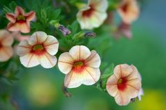 Orange petunia flowers Royalty Free Stock Images