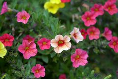 Orange petunia flowers Stock Image