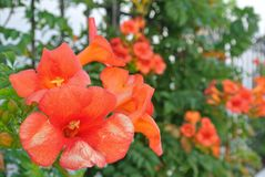 Orange petunia flowers Royalty Free Stock Image