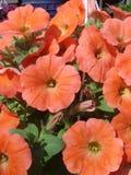 Orange petunia i kruka Fotografering för Bildbyråer