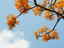 Orange Pfaublumen und -niederlassungen über blauem Himmel Lizenzfreie Stockbilder