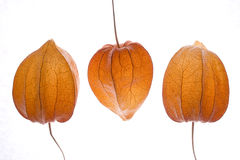 Orange physalis Royalty Free Stock Photo