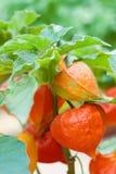 Orange physalis exotic fruit nightshade family Solanaceae subtropical plant close-up photo. Selective focus Stock Images