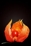 Orange physalis Stock Images
